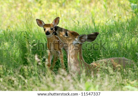 Big Meadow Shenandoah National Park Doe and Fawn - A Mother's Love Horizontal