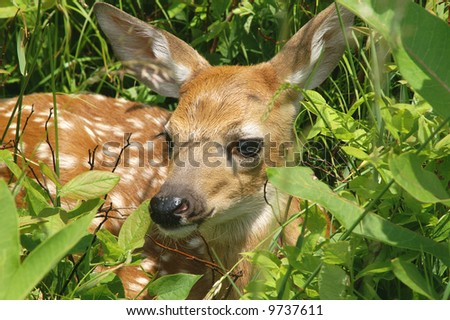 Big Meadow Virginia Whitetail Fawn