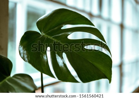 Big monstera leaf. Monstera deliciosa or swiss cheese plant in a pot. Dark green leaves texture background. Tropical foliage
