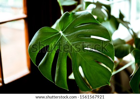 Big monstera leaf. Monstera deliciosa or swiss cheese plant in pot at home. Dark green leaves texture. Tropical foliage