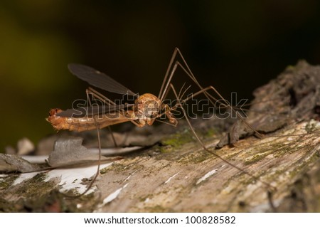 Big mosquito resting on a tree in the garden