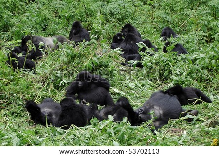 Big mountain gorilla family with silverback and multiple baby gorillas chilling out between the vegetation during a gorilla trekking in Volcanoes National Park in Rwanda.