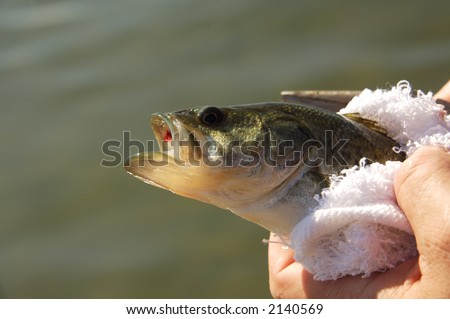 Big Mouth Bass Out of Water