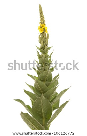 big mullein with yellow flowers on white background