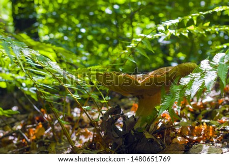 Big mushroom grows in ferns. Natural organic plants and cep growing in wood #1480651769