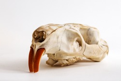 Big Myocastor coypus skull of white background