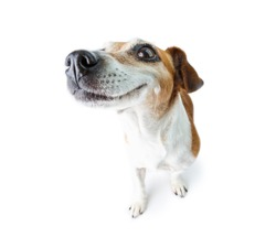 Big nose funny dog. Happy smiling  moments. White background