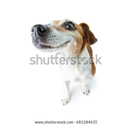 Stock Photo Big nose funny dog. Happy smiling  moments. White background