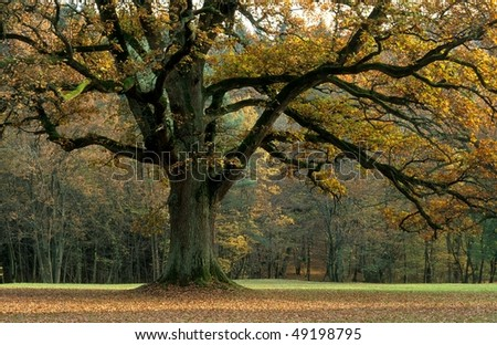 Big oak in autumn - stock photo