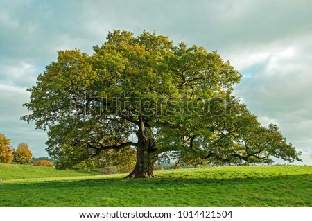 Big Oak tree in an English meadow. - Shutterstock ID 1014421504