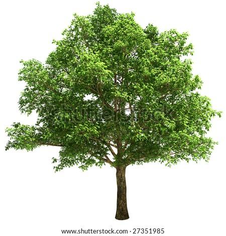 Big oak tree isolated on white background.