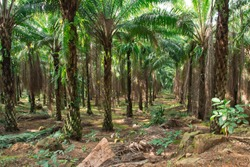 Big Oil Palm Plantation