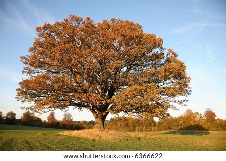 Big, old oak tree on field with fall colored leaves in sunset