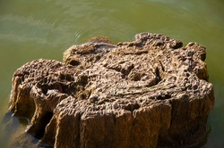 Big old rotten tree stump in water. Tree rings, dendrology.