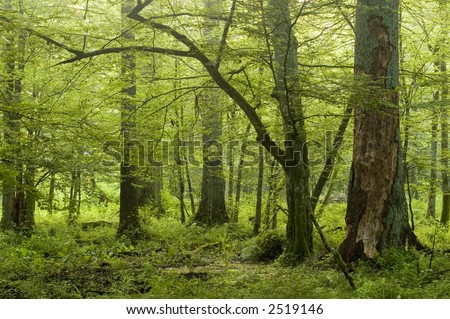 Big old trees in natural deciduous forest,early summer, Europe,Poland,Bialowieza Forest