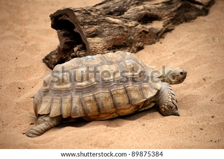 Big old turtle walking slowly on a sand in a Tenerife Loro zoo park