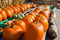 Big orange pumpkin harvest - Ares Pumpkin, Gladiator Pumpkin, Cronus Pumpkin ,Sugar Pie and Other Sweet Pumpkins are available in the fall on the farmer's market -  farm shop, eco farm.
