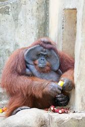 Big orangutan eats orange