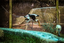 big painted stork bird running with open wings in large aviary with metal grid in national zoological park