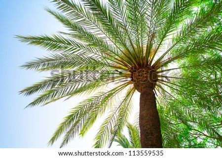 big palm tree - view from below - green leaves, blue sky