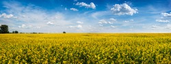 big panoramic view of Rape Field in Ukraine