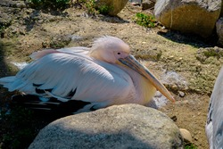 Big pelican lying down and resting under the sunshine in its nests. Close up photo.