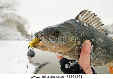 Big perch caught on jigbait on winter day, copy space