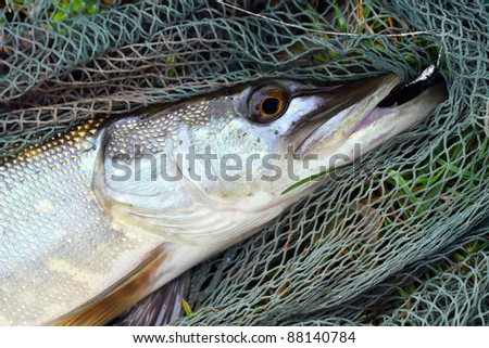 Big Pike (Esox lucius) on a landing net.