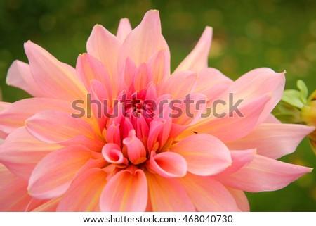 Big pink chrysanthemum with yellow center ez canvas big pink chrysanthemum with yellow center mightylinksfo