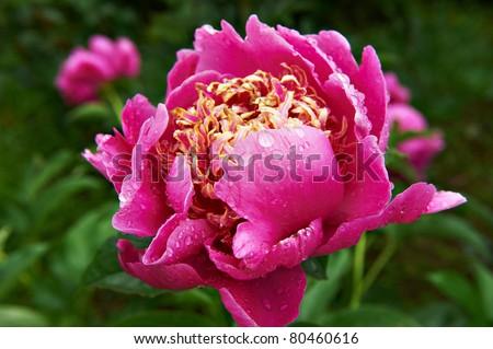 Big pink peony flower in garden #80460616