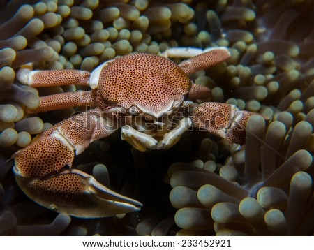 Big Porcelain crab sitting outside of its anemone coral. Porcelain crabs are decapod crustaceans in the widespread family Porcellanidae which superficially resemble true crabs. Pemba island, Tanzania.