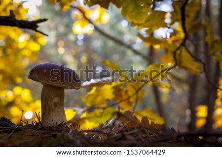 Big porcini mushroom grows in forest. Autumn mushrooms grow near oak. Natural raw food growing in wood. Edible cep, vegetarian natural organic meal #1537064429