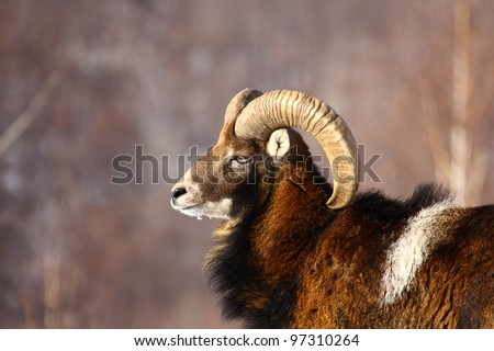 Big powerful mouflon male profile shot. This is the alpha male of its herd, having beautiful big horns.