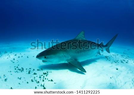 Big, Pregnant Tiger Shark over Sand Bottom. Tiger Beach, Bahamas