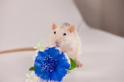 Big rat with a big blue flower