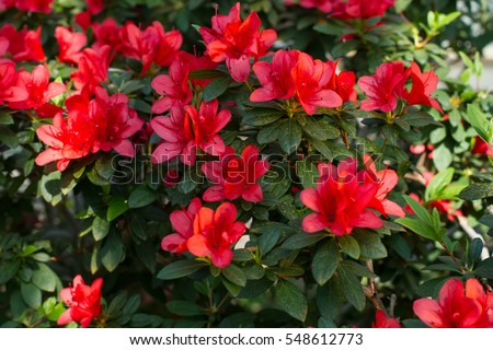 Big red azalea bush in the garden. Season of flowering azaleas.