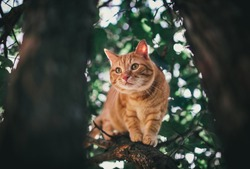 Big red beautiful cat with big eyes on a tree