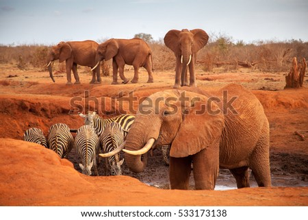 Big red elephants with some zebras on a waterhole, on safari in Kenya