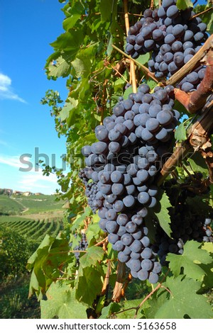 Big red grapes waiting for the harvest; Nebbiolo variety, italian vineyards