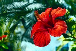 big red hibiscus flower on the sky background