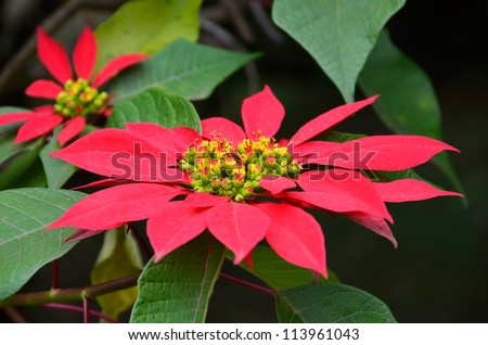 Big Red Poinsettia Flower in a Bush. Christmas decoration