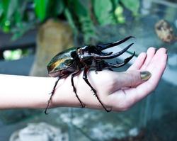 big Rhinoceros beetle on human hand