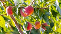 Big ripe peaches in the garden on a tree in sunny weather