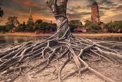 big root of banyan tree land scape of ancient and old  pagoda in history temple of Ayuthaya world heritage sites of unesco central of thailand important destination of tourist