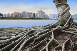 big root tree in front of city building concept forest and urban grow up together