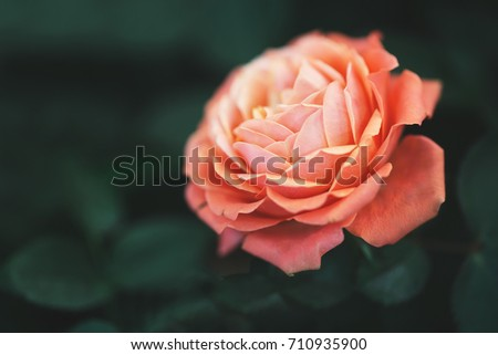 big rose on green dark background. Nature outdoor macro autumn photo #710935900