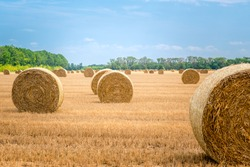 Big round straw bales of straw in the field after the harvest