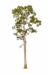 big rubber tree isolated on white background
