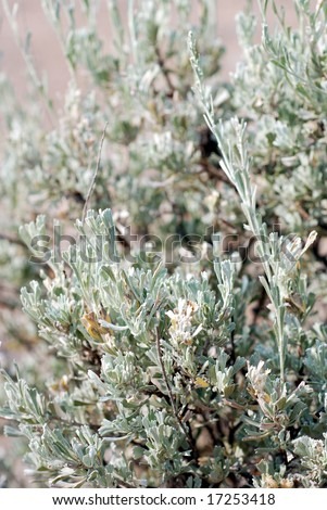 Big Sagebrush, also called Tall Sagebrush, Artemisia Tridentata of the Sunflower Family, Asteraceae, In the Central Oregon High Desert.