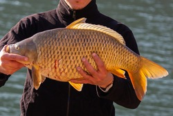 Big Scaly Carp fish (Cyprinus carpio)